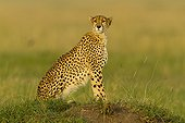 Cheetah on a termit mound in the Masai Mara RNin Kenya