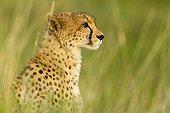 Portrait of a Cheetah in the Masai Mara RNin Kenya