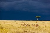 Impalas herd and storm in the Masai Mara RN in Kenya