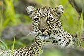Portrait of a female leopard in the Masai Mara NR in Kenya
