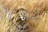 Lion lying in tall grasses in the Masai Mara NR in Kenya