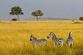Grant's zebras in the Masai Mara NR  Kenya