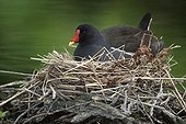 Common Moorhen resting on nest in spring Staffordshire UK