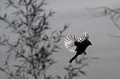 Mésange charbonnière se posant en hiver France
