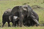 African Elephants taking a mud bath Masai Mara Kenya