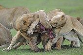 Lions fighting over a Warthog Masai Mara Kenya
