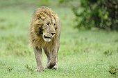 Lion walking in the savannah Masai Mara Kenya