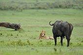 Lion lying in front of a buffalo in the savannah Masai Mara Kenya