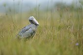 Shoebill preparing to fish in the marsh Uganda