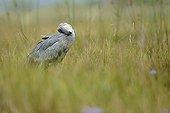 Shoebill preparing to fish in the marsh Uganda  ; It turns its head