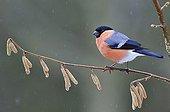 Bullfinch male on a branch of hazel in winterFrance