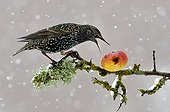 Starling eating an apple in snow Lorraine France