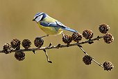 Blue tit on a branch of larch in winter France