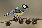 Great tit on a branch of larch in winter France