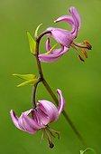 Turk's cap lily flowers Lorraine France