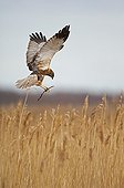 Marsh Harrier male building nest Denmark