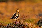 Golden Plover in the region of Akureyri in Iceland
