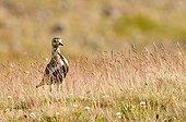 Golden Plover in the Grenivik  region of Iceland