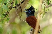 African Paradise Flycatcher on a branch in Botswana