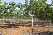 Young plantation of rubber trees in Cambodia
