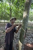 Spiral incision on rubber tree in Cambodia