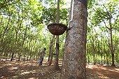 Tree harvesting latex rubber Cambodia