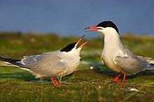 Two common terns (Sterna hirundo)