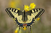 Old World Swallowtail Butterfly (Papilio machaon) resting on Cowslip (Primula veris), wings spread, Eichkogel near Moedling, Lower Austria, Austria, Europe