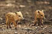 Piglets (Sus scrofa)