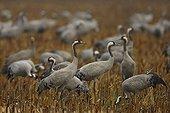 Eurasian cranes (Grus grus) on a stubblefield