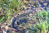 Breeding area of ??the Brown Trout Haut-Rhin France