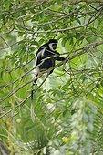 Guereza in the branches of Kilbale NP in Uganda