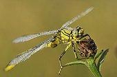 Yellow-legged Clubtail at dawn Aquitaine France