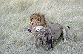 Lion killing a Spotted Hyena Maasai Mara Kenya