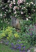 Rose-tree 'Albertine' in bloom in a garden in spring ; Himalayan geranium 'Johnson's Blue'
