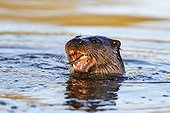 European Otter eating a fish in winter