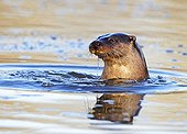 European Otter coming out of the water in winter