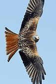 Adult Red Kite in flight at spring