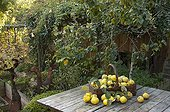 Basket of harvested garden Quinces France ; Designer : Pierre-Alexandre RISSER
