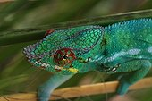 Portrait of Male panther chameleon Reunion