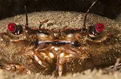 Portrait of Velvet Swimming Crab Brittany France