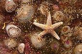 Anémones de mer bijou verte et Etoile de mer Bretagne France