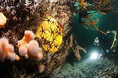 Diver and Black Brittle stars on Boring Sponge France