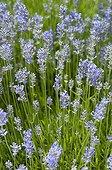 Lavender 'Cedar Blue' flowers in a garden in France