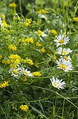Oxeyeaisy and Bird's-foot-Trefoil flowers in a garden France