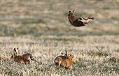 Brown Hares chassing each other in a meadow