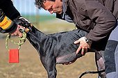 Final of the Spanish National Championships of Hare Coursing ; Although forbidden in most countries, it is a competitive and legal sport in Spain, in which dogs are tested on their ability to run, overtake and turn a hare. The business that surrounds greyhounds in Spain moves millions of Euros each year.