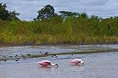 Roseate Spoonbills Parismina river Tortuguero Costa Rica