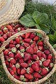 Harvest of strawberries 'Ciflorette' in a garden