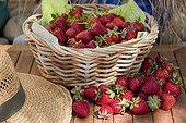 Harvest of strawberries 'Elsanta' in a garden
